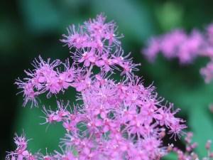 キョウガノコ 花の姿