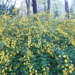 ヤマブキ 花が咲いている様子