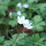 ニリンソウ 花の姿