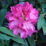 シャクナゲ ピンクの花の姿