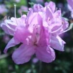 ツツジ モチツツジの花の姿