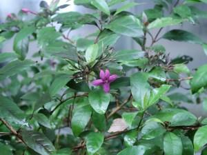 プセウデランテムム ラキシフロルム 花の咲いている様子
