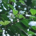 ユーゲニア フレドリッシスターシー ブラックチリアングァバ 花の咲いている様子