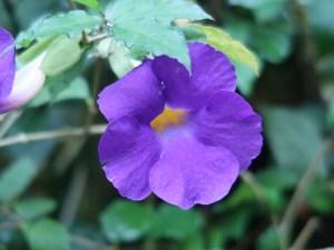 ツンベルギア フォーゲリアナ 花の姿