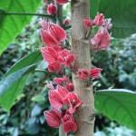 ゴエテア ストリクティフロラ 花の咲いている様子