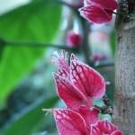 Goethea strictiflora/ ゴエテア ストリクティフロラ