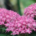 ペンタス ピンクの花