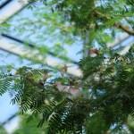 スリナムゴウカン 花の咲いている様子