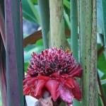 トーチジンジャー 花の様子