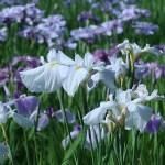 ハナショウブ 花の様子