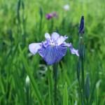ハナショウブ 青色系の花