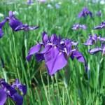 ハナショウブ 紫色系の花