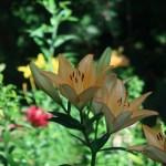スカシユリ 薄黄色の花の姿