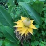 Golden lotus banana/ チユウキンレン