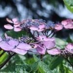 アジサイ 紫のガクアジサイの花
