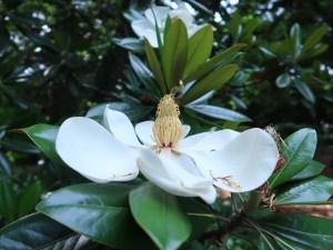 タイサンボク 花の様子