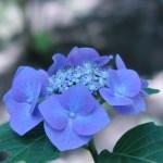 アジサイ 若いガクアジサイ花の様子