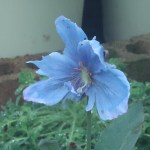 Blue poppy/ メコノプシスグランディス