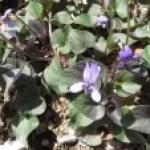 Labrador violet/ ビオラ ラブラドリカ