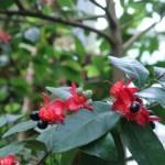 オクナカーキー 花と実の様子