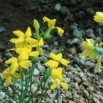 リュウキュウベンケイ 花の咲いている様子