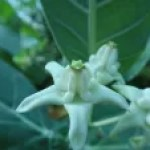 Crown flower/ アコン