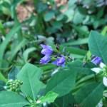 アリステア エクロニー 花の様子