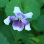 Australian violet/ ツタスミレ