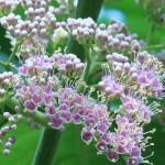 オオバシマムラサキ 花の姿