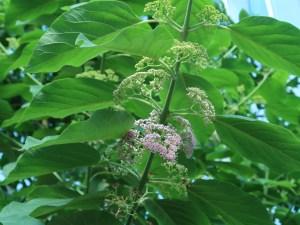 オオバシマムラサキ 花の咲いている様子
