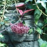 サクララン 花の咲いている様子