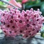Porcelainflower / サクララン