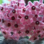サクララン 花のアップ