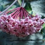 サクララン 花の様子