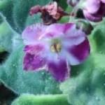 African violets/ アフリカスミレ
