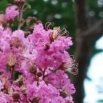 サルスベリ 花の咲いている様子