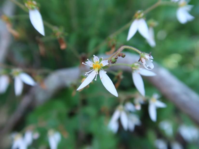 Strawberry Geranium/ ユキノシタ