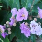 オオバナサルスベリ 花の咲いている様子