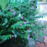 メキシコハコヤナギ 花の咲いている様子