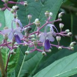 クレロデンドルム・セラツム 花の姿