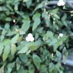 ブライダルベール 花の咲いている様子