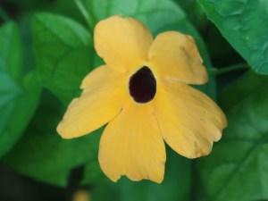 ヤハズカズラ 花の姿