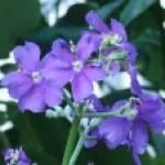 Silverleafed princess flower/ ホザキノボタン