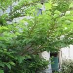 クワ 実のなっている木の様子