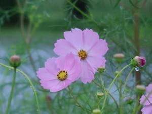 コスモス 花の様子