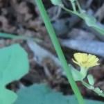 オニタビラコ 花の咲いている様子