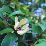 カラタマオガタマ 花の姿