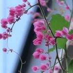 アサヒカズラ 花の咲いている様子