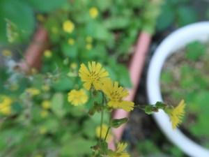 オニタビラコ 花の姿