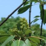 Trochodendron aralioides/ ヤマグルマ
